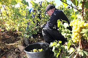 vendanges des Chardonnay a Avize dans la Marne